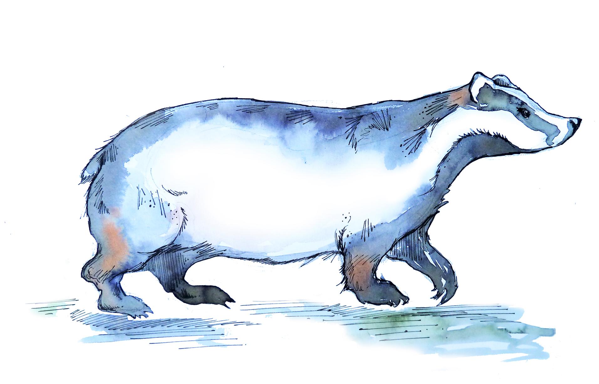 batty island sketches badger small